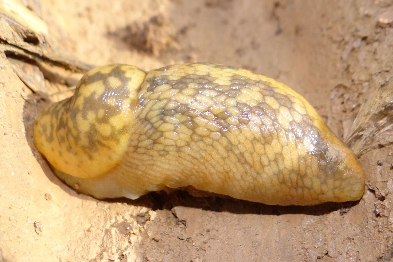 LESMA AMARELA (Limacus flavus)